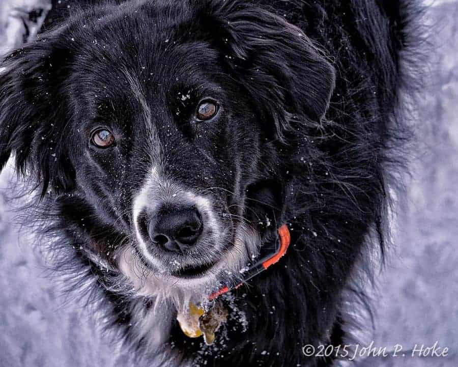 Border_Collie_in_the_Snow-11-2014