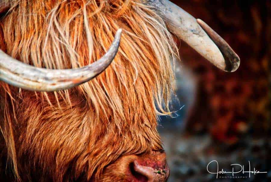 Highland Cattle - New Zealand