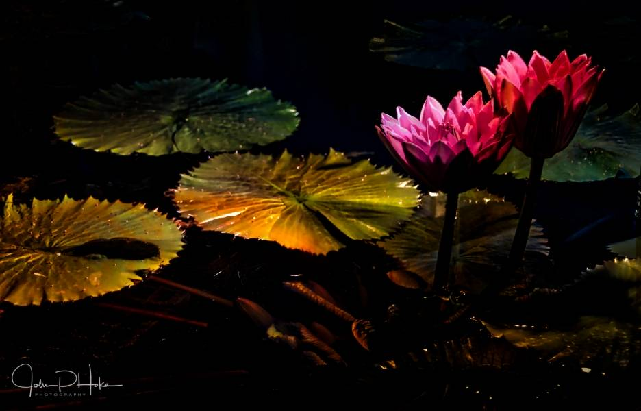 Night-Water-Lilies-20160805-John-P.-Hoke