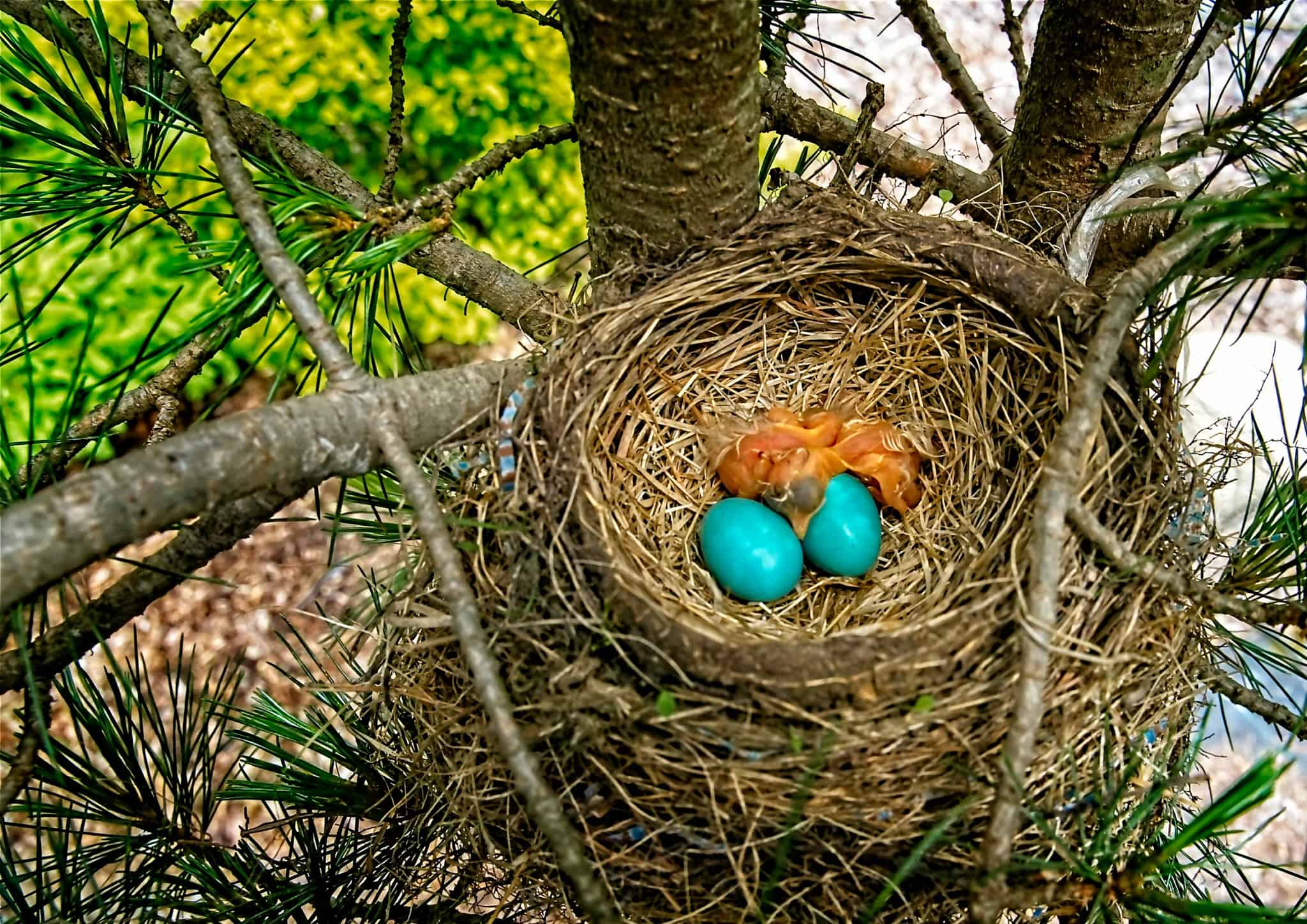 A couple of Robin's Eggs and Hatchlings in one of the evergreens in front of my house